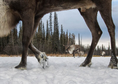 caribou herd crosses a winter landscape and caribou are seen through the legs of a passing caribou in a camera trap.