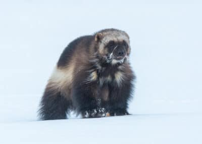 a wolverine crosses the frozen arctic landscape with ice forming around his whiskers in this image by peter maher conference and chill outdoor edition speaker