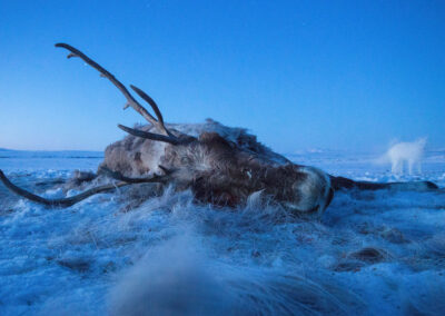 a freshly killed caribou lies in the foreground on the ice while an arctic fox hesitantly pops in for a bite while the wolves are off sleeping